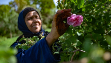 صورة بطلاته نساء القلعة بأكملها.. ماذا تعرف عن موسم قطف الورد البلدي بالمغرب؟