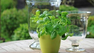 صورة بدون صاعق أو مبيدات حشرية.. 6 نباتات تحميك من بعوض الصيف